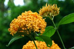 Ixora yellow flowers Stock Photography