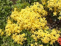 Ixora yellow flowers Royalty Free Stock Photos