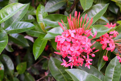 Ixorabloemen in tuin Royalty-vrije Stock Foto