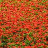 Ixoras,在小组的可爱的红色小微小的花 免版税库存图片