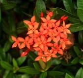 Ixoras älskvärda små mycket små blommor Arkivbild