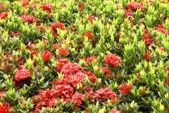 Ixoras et feuilles rouges Images stock
