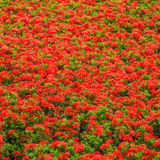 Ixoras, lovely red small tiny flowers in groups Royalty Free Stock Image