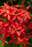 Ixoras, lovely small tiny red flowers Royalty Free Stock Images