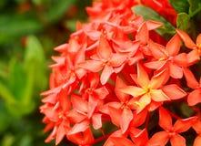 Ixoras, uroczy mali malutcy kwiaty Zdjęcia Stock