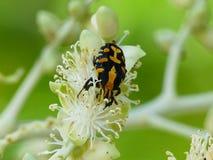 Ixoridamouhotii in tuin royalty-vrije stock afbeelding