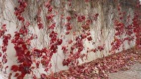 Iyv rouge sur le mur, feuilles image stock