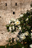 Izborsk fortress. A background for a rose. Stock Photos