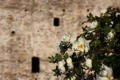 Izborsk fortress. A wall and a rose. Stock Image