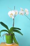 Izbowa roślina jest białym orchideą Zdjęcie Royalty Free