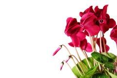 Izbowy kwiat na białym tle Fotografia Stock