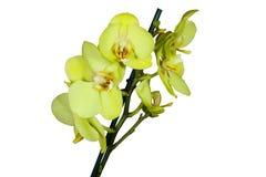Izbowy kwiat odizolowywający na białym tle Zdjęcie Royalty Free