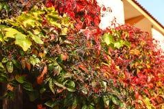 Izoluje z kolorowymi liśćmi dziki winogrono natury jesieni tło zdjęcia royalty free