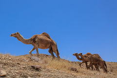 Izrael, pustynia, A Arabscy wielbłądy stado Obraz Stock