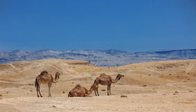 Izrael, pustynia, A Arabscy wielbłądy stado Zdjęcie Stock