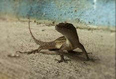 Izzy. Lizard geico gecko dinosaur nature reptile blue Royalty Free Stock Images