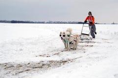 Járkov - enero 14: El competir con de perro de trineo Funcionamientos del deportista dogsled en s Foto de archivo libre de regalías