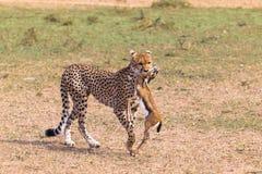 Jägare av savann cheetah kenya Royaltyfria Bilder