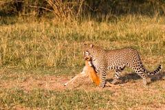 Jägare av savann leopard kenya Royaltyfri Bild