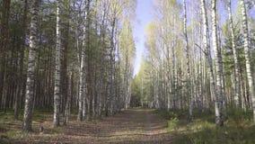 Jägaren, handelsresanden eller det stora lösa djuret promenerar vägen i skogen, första-person sikt Höstväg i en björkdunge med arkivfilmer