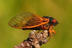 17-jährige Zikade (Magicicada cassini) Stockfotografie