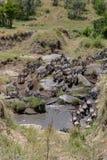 Jährliche Migration auf Masai Mara, Kenia, Afrika stockbild
