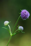 Jäkel-bit blomma (den Succisa pratensisen) Royaltyfri Fotografi