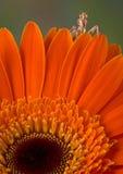 jäkelblommabönsyrsa över kika petals Fotografering för Bildbyråer