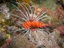 jäkelfisklion Arkivfoto