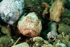 Jäkelscorpionfish i Ambon, Maluku, Indonesien undervattens- foto Royaltyfri Foto