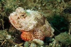 Jäkelscorpionfish i Ambon, Maluku, Indonesien undervattens- foto Royaltyfria Bilder