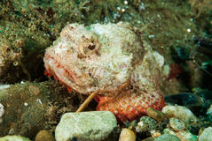 Jäkelscorpionfish i Ambon, Maluku, Indonesien undervattens- foto Royaltyfria Foton