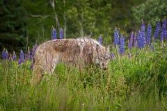 Jämliken för Grey Wolf Canis lupusårsgammal djurunge ut från lupin Arkivbilder