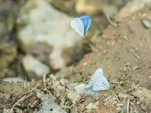 Järnekblåttfjärilen i Lamtaklong, Thailand royaltyfri fotografi