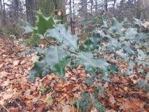 Järneksidor i skogen royaltyfri fotografi