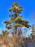 Järnekträd i snö Arkivfoton