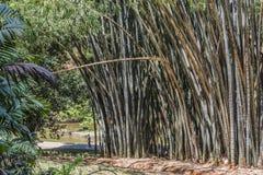 Jätte- bambu i den Peradeniya trädgården Arkivbild