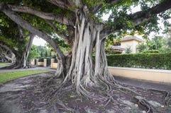 Jätte- Banyanträd i Coral Gables Arkivfoto