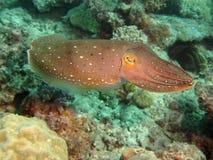 Jätte- bläckfisk royaltyfri fotografi