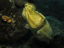 Jätte- bläckfisk Royaltyfri Foto