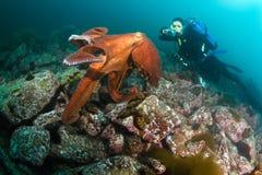 Jätte- bläckfiskdofleini och dykare Arkivfoton