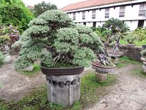 Jätte- bonsai på Baluarte De San Diego Gardens Arkivbild