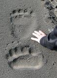 Jätte- brunbjörnspår Arkivbilder