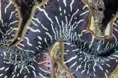 Jätte Clam Abstract i Papua Nya Guinea arkivfoton