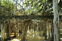 Jätte- dunge för banyanträd i Thailand Royaltyfria Foton