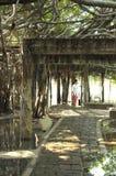 Jätte- dunge för banyanträd i Thailand Arkivfoton