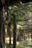 Jätte- dunge för banyanträd i Thailand Royaltyfri Fotografi