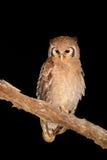 Jätte- Eagle-uggla Royaltyfri Fotografi