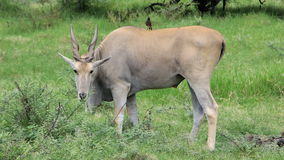 Jätte- eland i afrikansk safari Arkivfoto