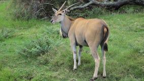 Jätte- eland i afrikansk safari Arkivfoton